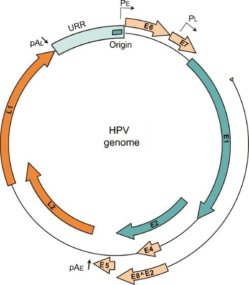 Papilloma virus genoma 42